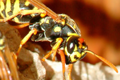 Tamworth Green wasp control costs